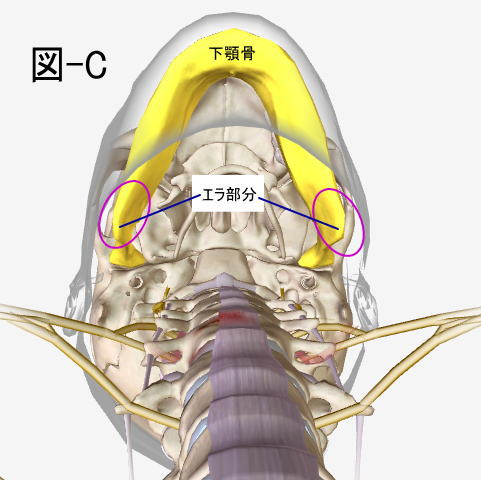 エラ張りと顎関節の左右の距離の関連