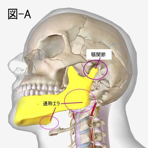 顎関節とエラ張りの関係性