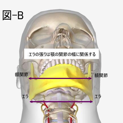 左右の額関節の距離とエラ張りの関係